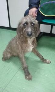 Il cane ricoverato nella clinica veterinaria di Bracciano