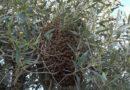Laboratorio Verde FareAmbiente di Cerveteri: gli agenti del N.U.B.I. sono intervenuti in pieno centro di Cerveteri, per rimuovere uno sciame di api che si era posizionato sull'ulivo preferito dalle Api Regine